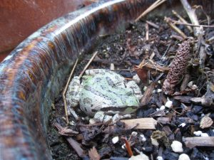 Frog in a Flower Pot