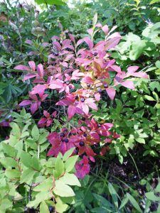 Red bush of huckleberries