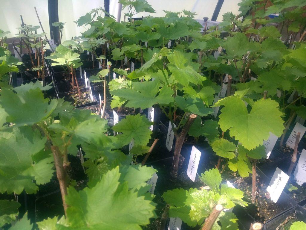 Barreca Vineyards – From Vine to Wine since 1986